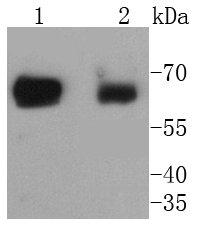 SHP2 Recombinant Rabbit monoclonal Antibody IgG