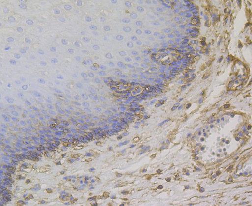 CD99 Rabbit polyclonal Antibody IgG