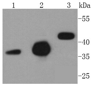 Caspase-9 Recombinant Rabbit monoclonal Antibody IgG