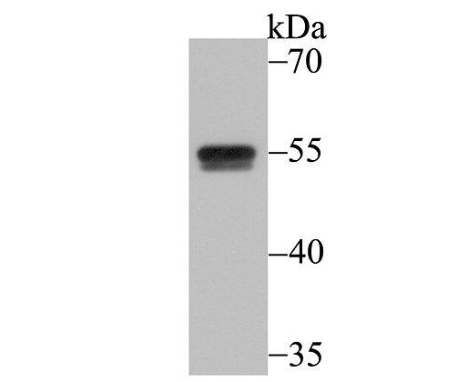 CELF1 Mouse monoclonal Antibody IgG1