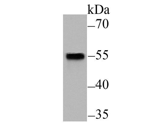 Smad2 Mouse monoclonal Antibody IgG1