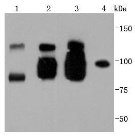 VE Cadherin Recombinant Rabbit monoclonal Antibody IgG