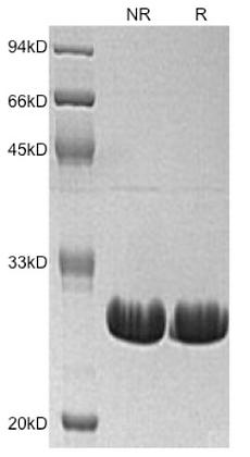 Recombinant Human Bcl-xL (C-6His)