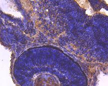 14-3-3 b/a Mouse monoclonal Antibody IgG2a