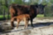 Qdale cow calf.jpg