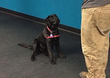 Ida May - Black Lab - Therapy Dog Skill Building