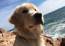 Benny - Golden Retriever - In-Home Consult