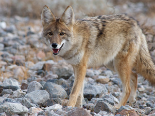Coyote: We Can Live Together