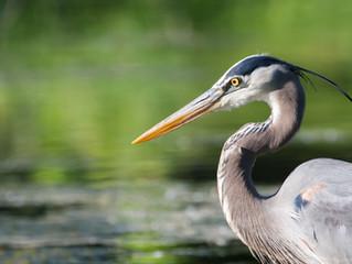 Blue Heron: We Are Often Harbingers of Spirit