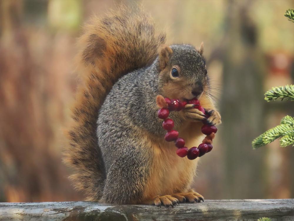 Squirrel eating cranberries