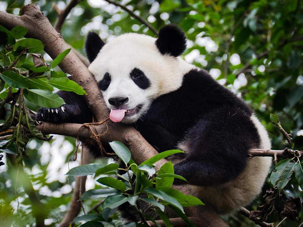 Panda with tongue sticking out.