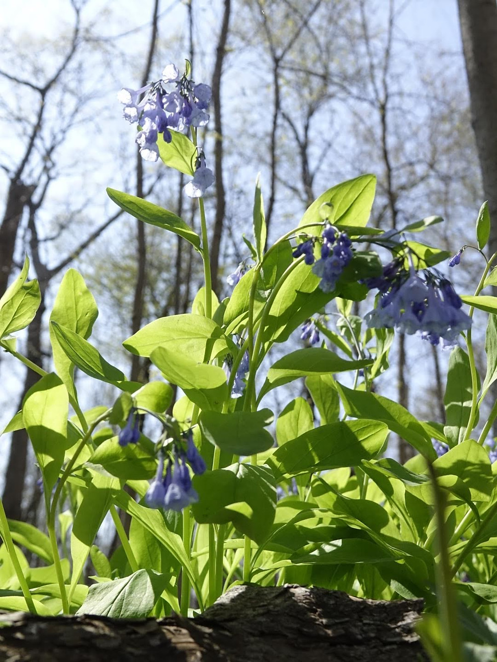 Photograph of bluebells from the ground up. Copyright S. Tobias