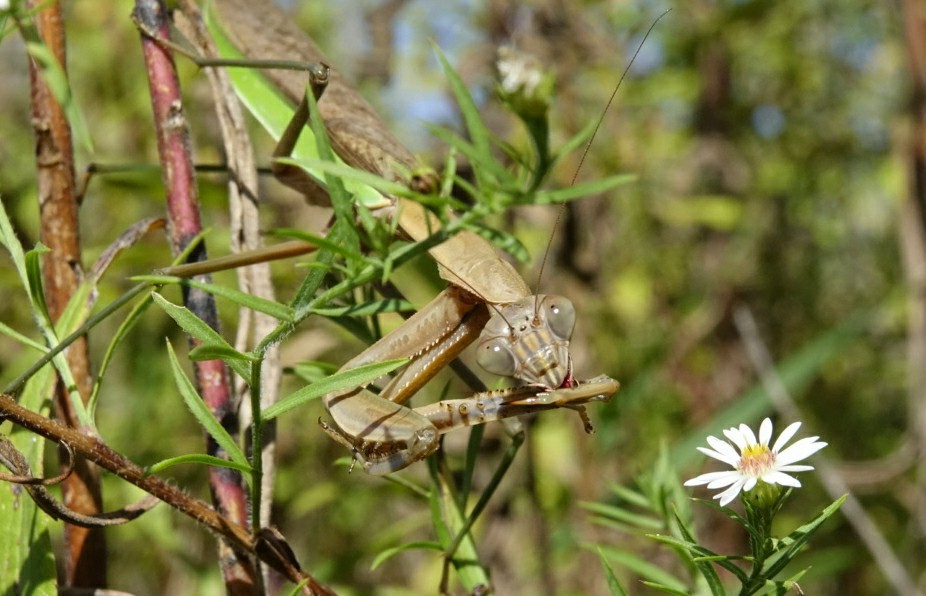 Praying Mantis eating prey.