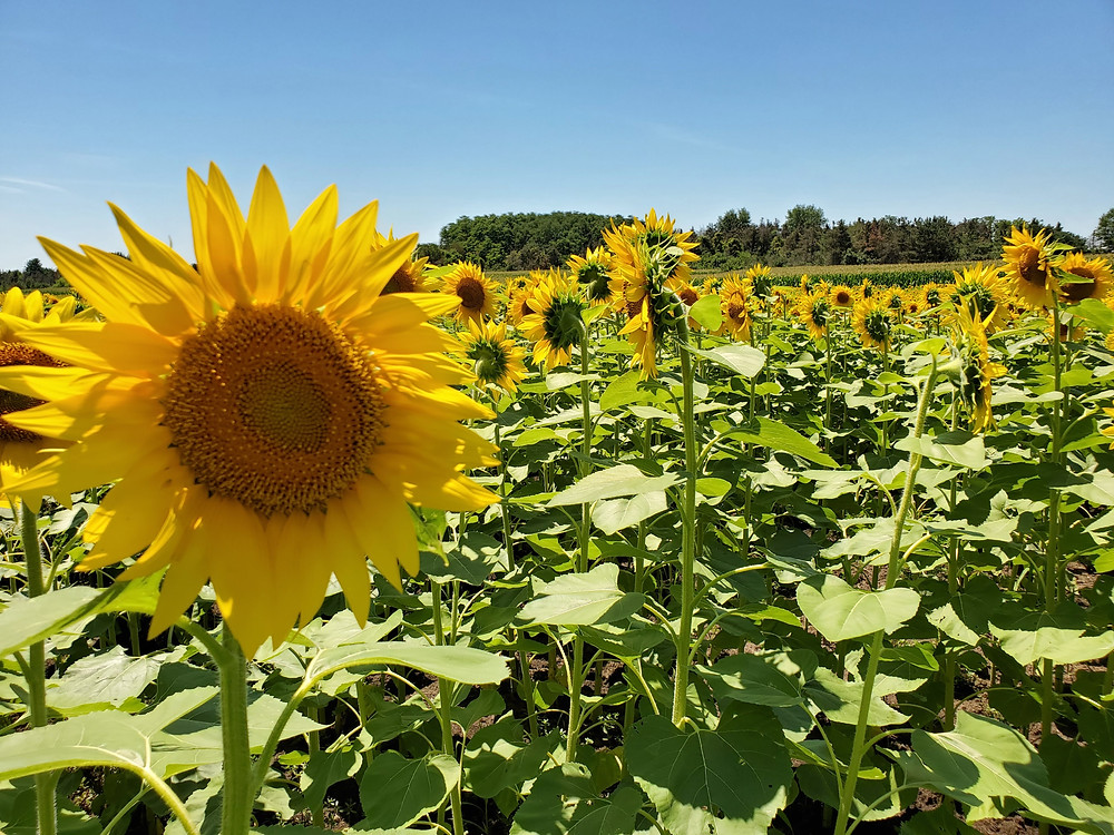 Field of sunflowers photograph. Sunflowers are like the warmth of the sun with velvety petals and a big round cent that is bumpy with thousands of tiny pollen covered flowers.