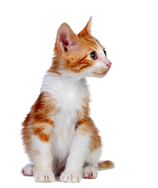Cute orange and white kitten gazing at bottle of Litter Care