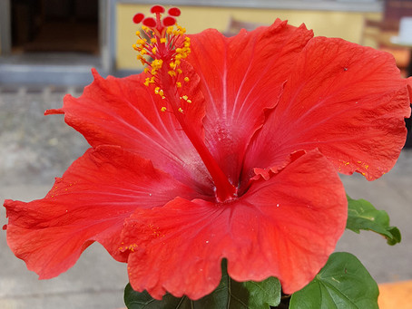 Hibiscus! More than meets the eye.