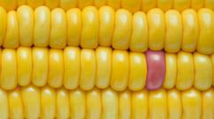 close-up-corn-delicious-1126285.jpg