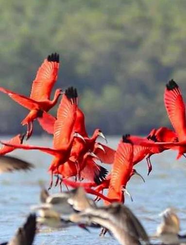 ibis_scarlatti_parnaiba_brasile