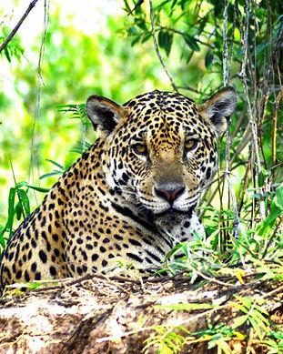giaguaro_nella_selva_del_pantanal_.jpg