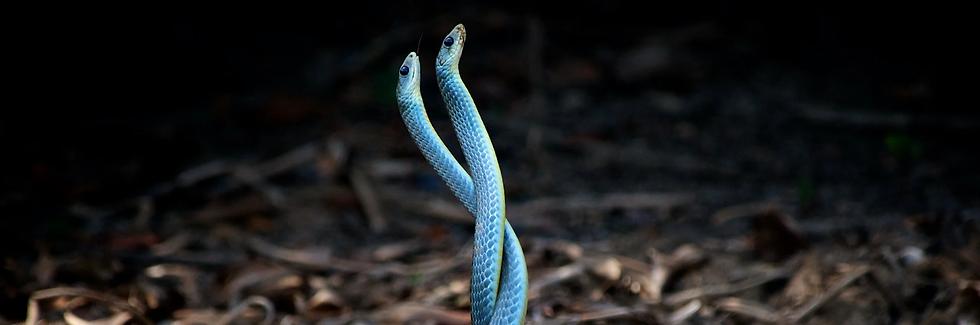 serpente blu del pantanal in brasile.web