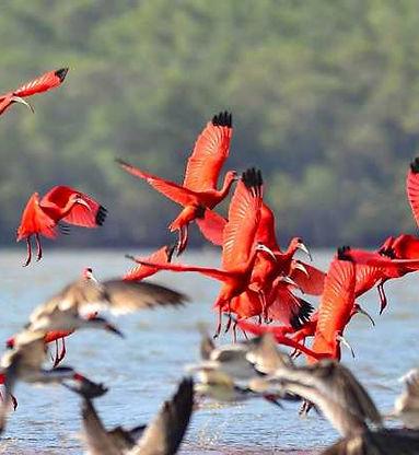 ibis scarlatti delta del parnaiba