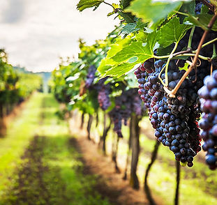 produttori-di-vino-biologico-e-vegan.jpg