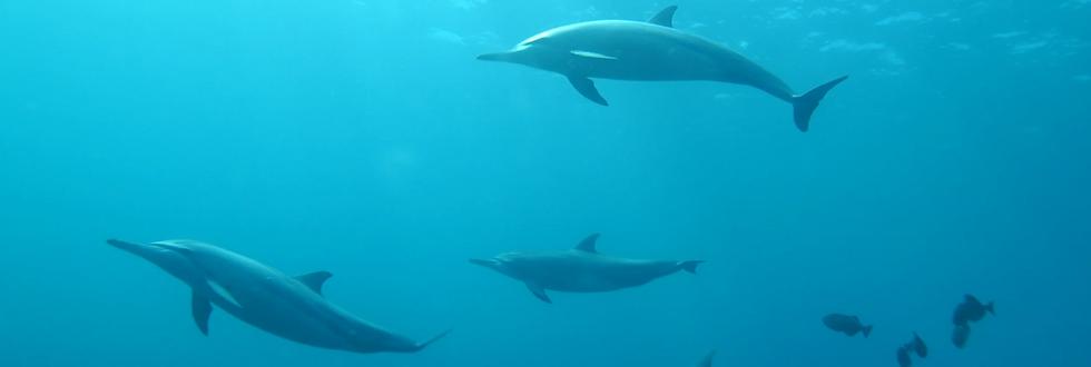 delfini_nel_mare_di_fernando_noronha_cul