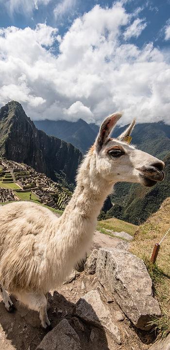 Machu Picchu, lama con sito archeologico