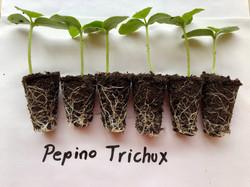 Pruebas en pepino con TRICHUX®
