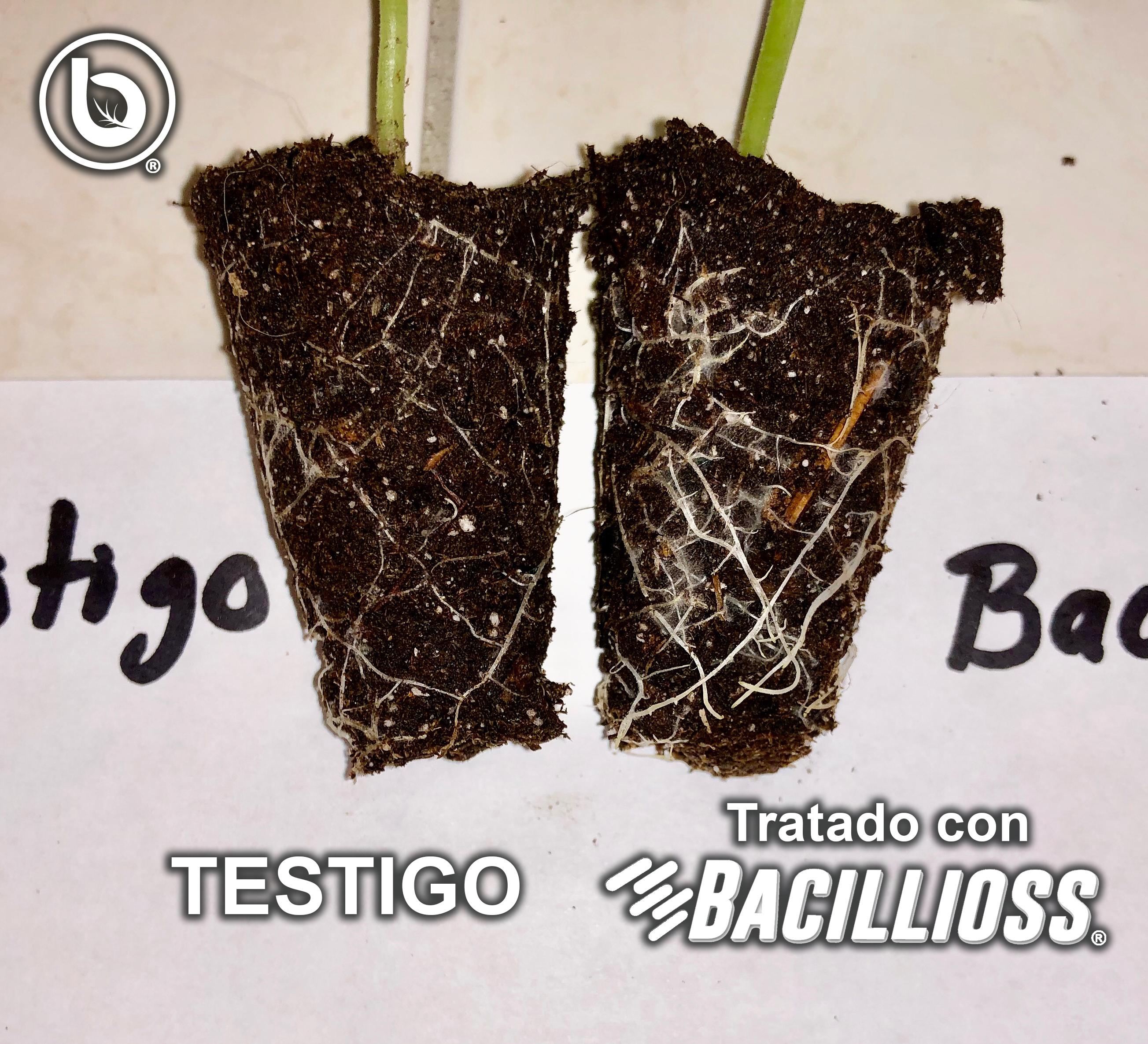 Bacillioss® vs testigo (raíces)
