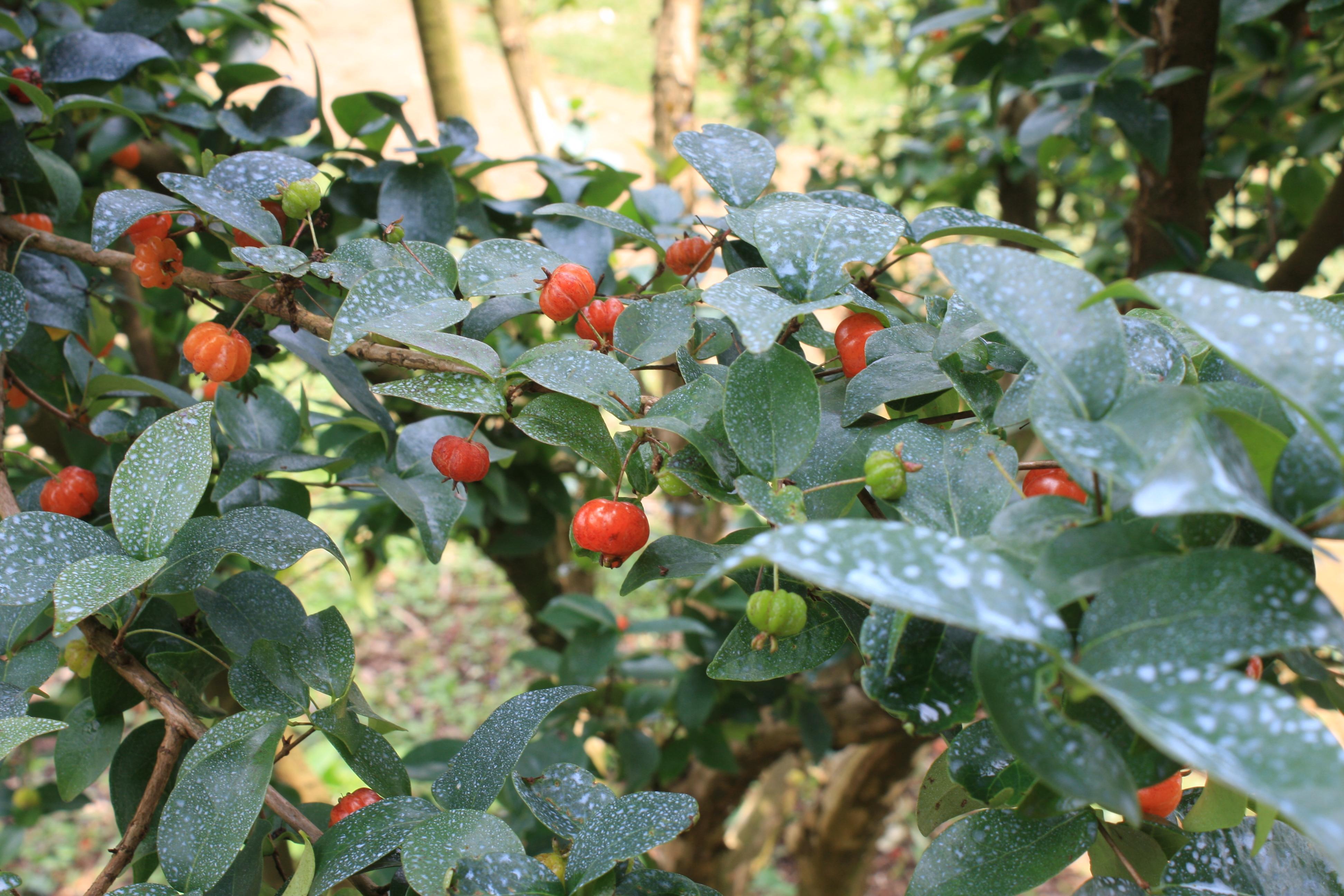 pitanga fruto