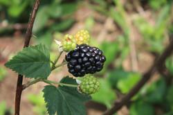amora fruto
