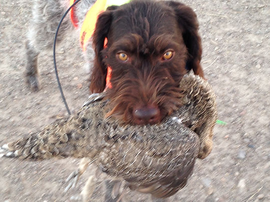 German Wirehaired Pointer Retrieving A Sage Grouse