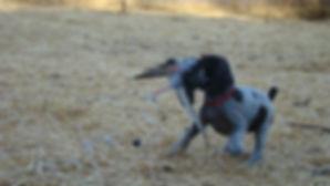 German Wirehaired Puppy
