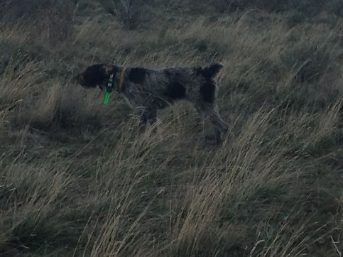 German Wirehaired Pointer Pointing
