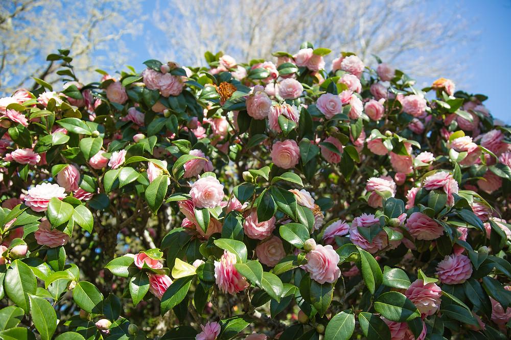 filoli roses