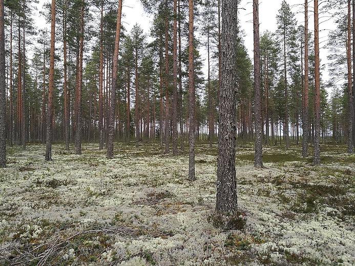 Metsänhoitotyöt, metsätoimisto Kuukkeli
