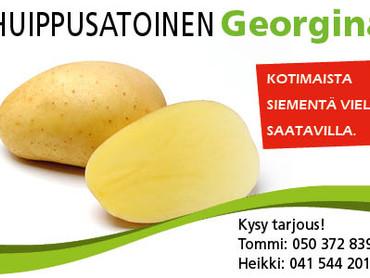 Huippusatoinen Georgina - siementä vielä saatavilla