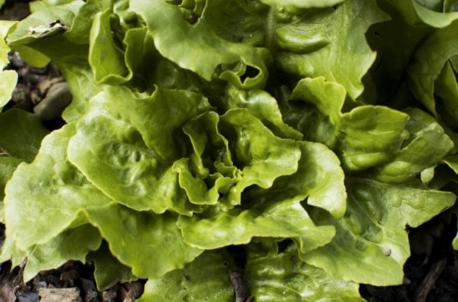 Buy Organic Green Salad Seeds
