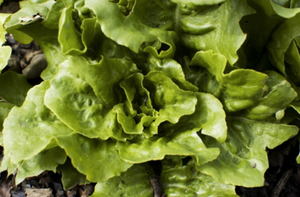 Buy Organic Green Salad Seeds