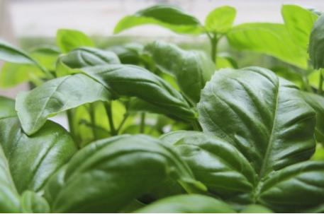 Buy Organic Basil Seeds Online