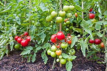 Tomates cerises biologiques