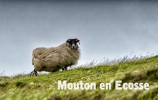 Mouton Ecosse.JPG