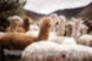 Alpaga.jpg