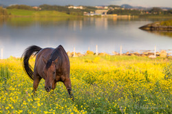 Horse in yellow meadow