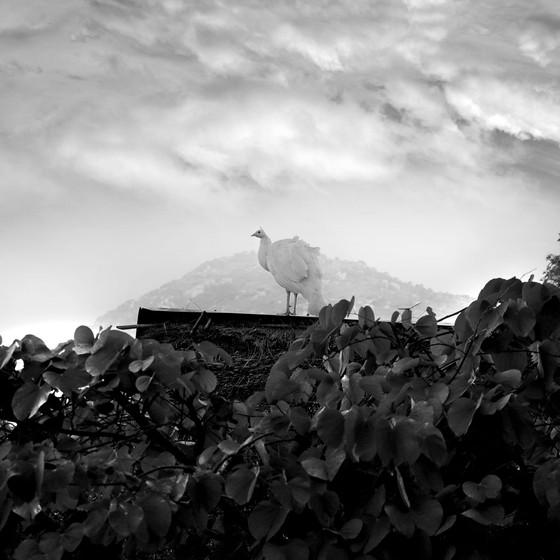 White-Peacock-2012.jpg