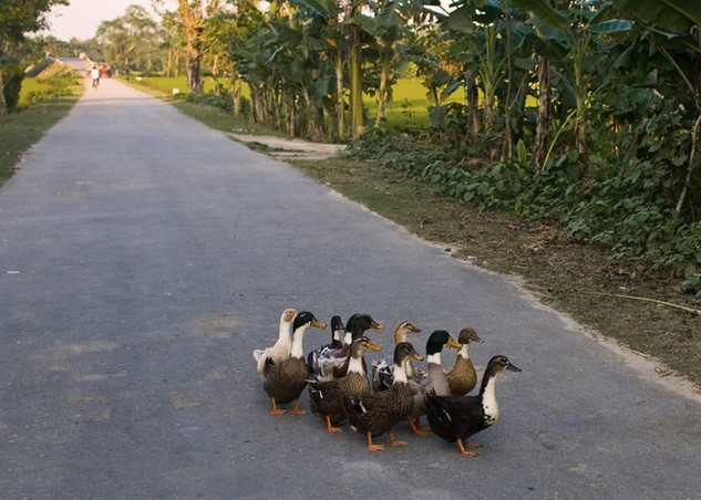 Flock of ducks crossing the road in Dhubri, Assam