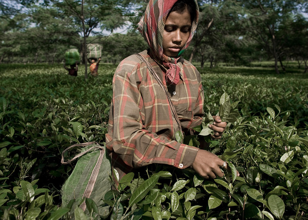 Women working in a tea plantation in Assam, India