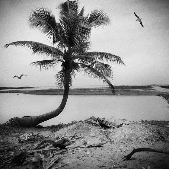 coconut-tree2015.jpg