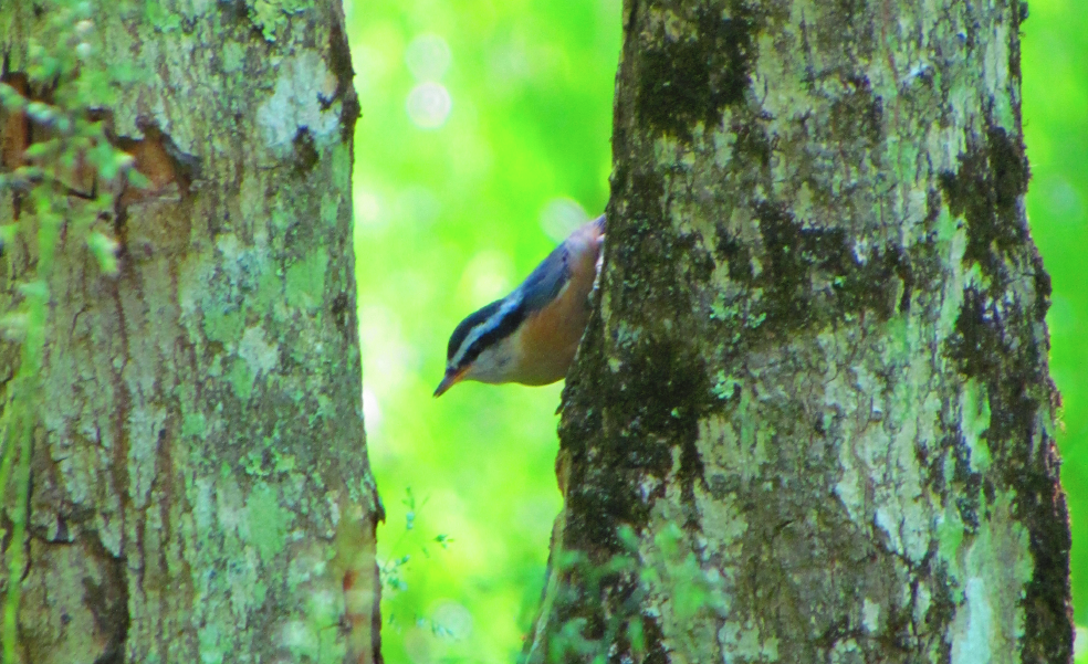 nuthatch peeking out from behind a tree